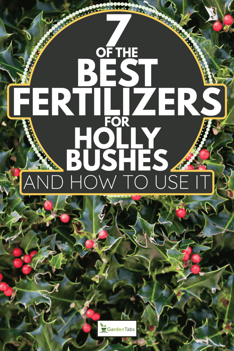 Close up shot of a prickly holly green plant with red berries. 7 Of The Best Fertilizers For Holly Bushes [And How To Use It]