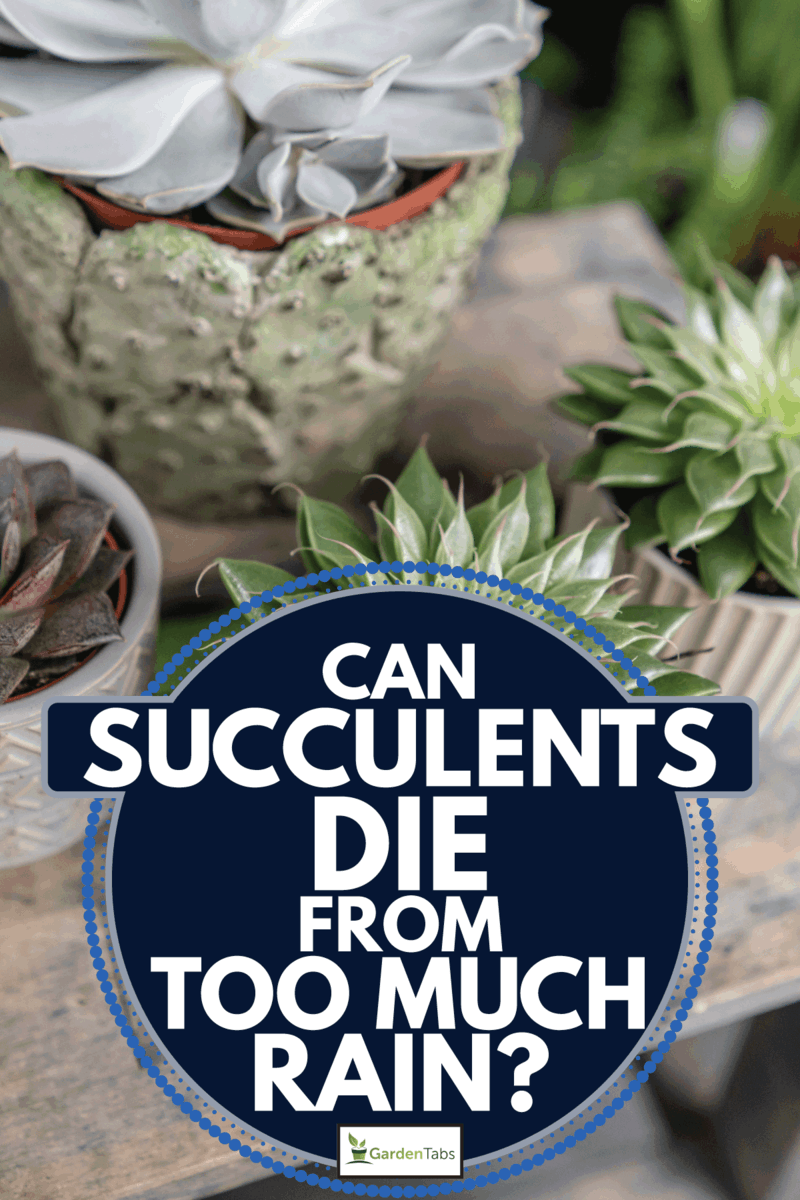 Collection of succulents in stylish ceramic pots on the wooden table. Can Succulents Die From Too Much Rain