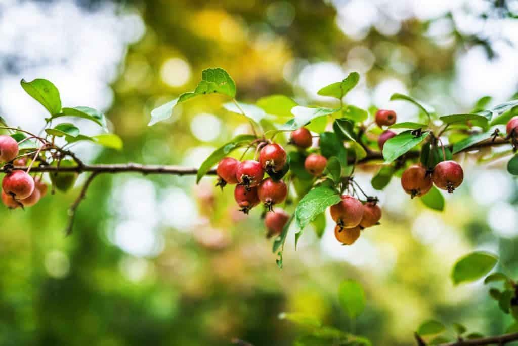 Crab apple berries photographed on a sunny day