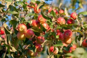 Read more about the article Crabapple Tree Not Leafing Out – What To Do?