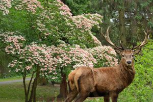 Deer with dogwood tree on the background, Are Dogwood Trees Deer Resistant?