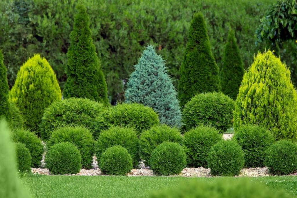 Different trimmed arborvitae shrubs on the garden