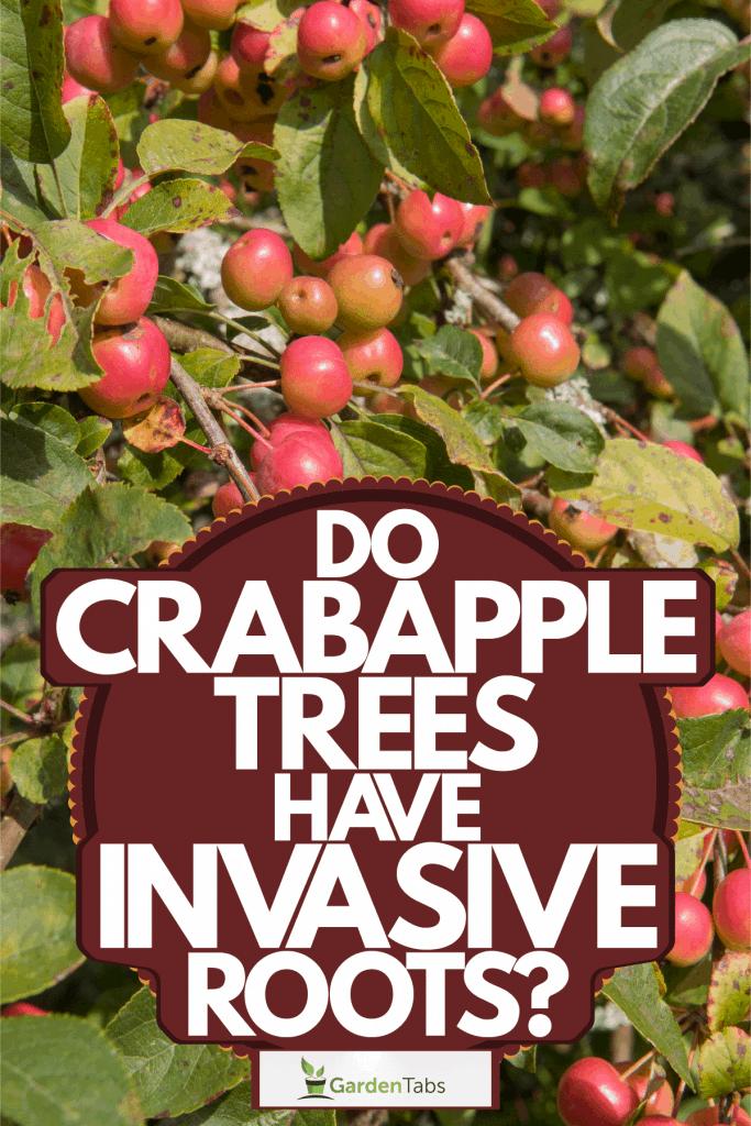 A crabapple tree bearing lots of crabapple cherries, Do Crabapple Trees Have Invasive Roots?