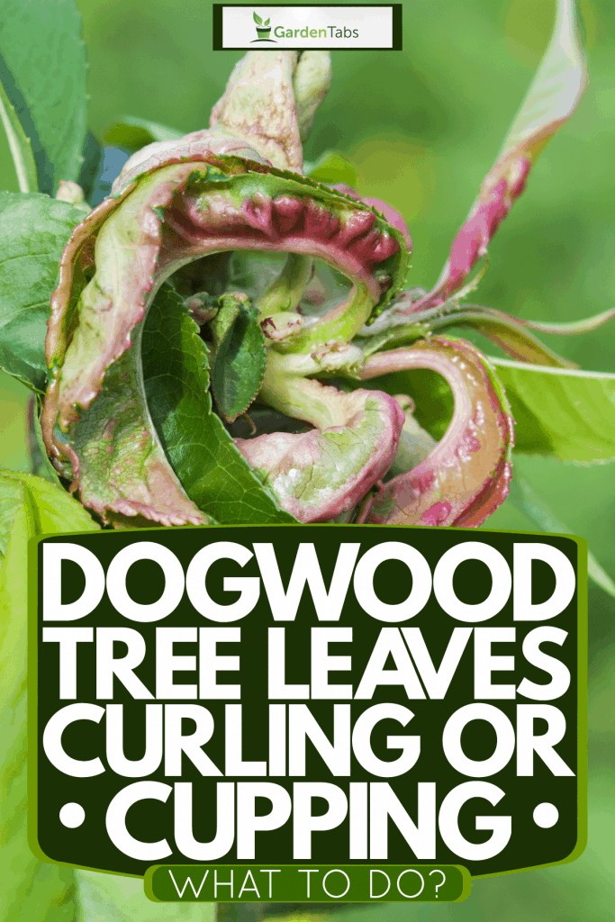 Curling peach leaf photographed up close, Dogwood Tree Leaves Curling Or Cupping - What To Do?