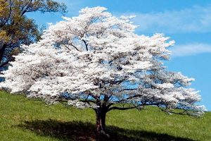 Dogwood tree in full bloom with blue sky on the background, Can Dogwood Trees Grow In Full Sun?