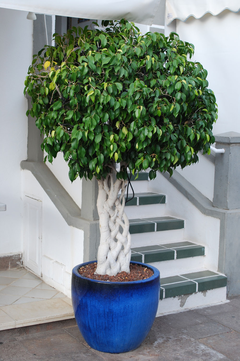 Ficus benjamina with braided stem growth in the blue pot
