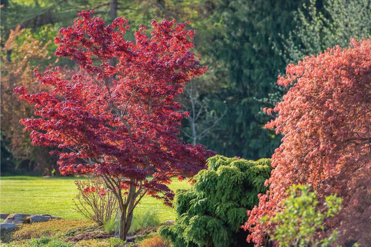 Garden Park in springtime, Red Maple tree in springtime