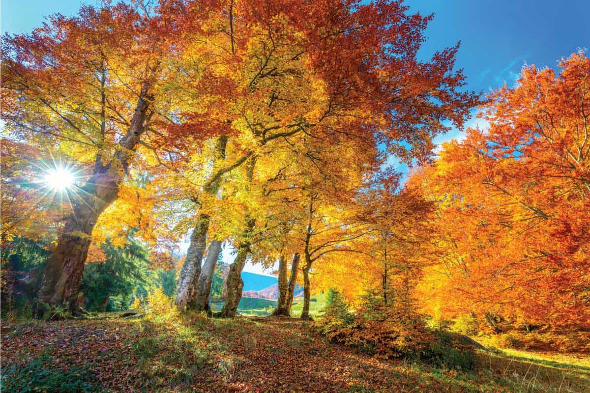 Golden Autumn season in forest - vibrant leaves on trees, sunny weather and nobody. How Long Do Maple Trees Live [By Type Of Maple]