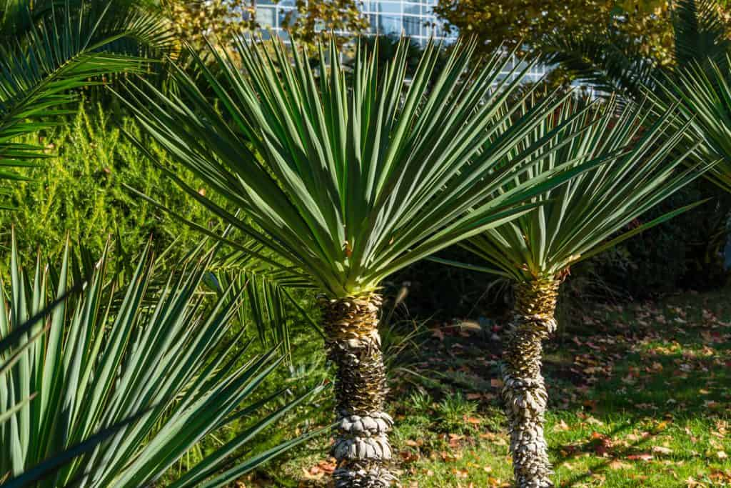 Gorgeous Yucca plant blooming nicely on the garden