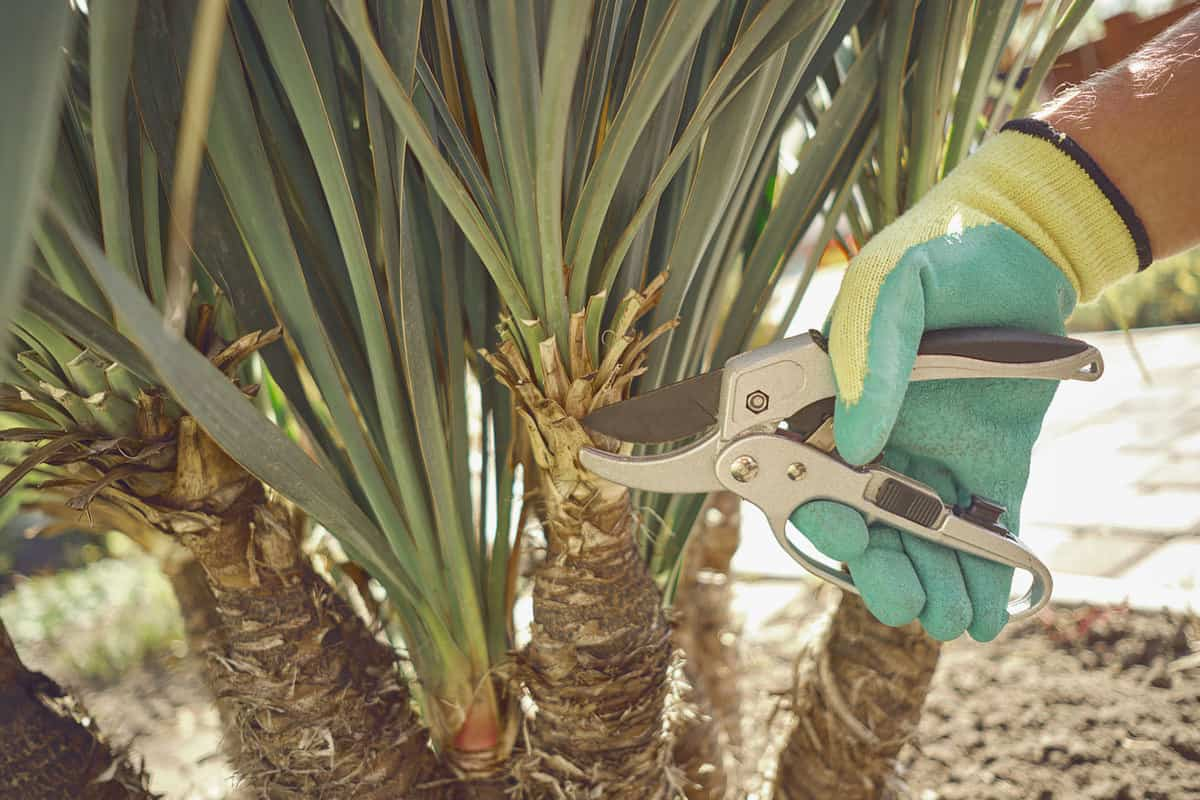 Hand of unrecognizable grower in colorful glove is clipping green yucca or small palm tree with pruning shears in sunny park