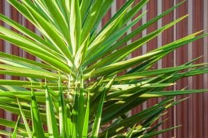 Should I Repot My Yucca Plant? [And How To Do So]