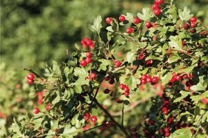 Read more about the article How Far Apart To Plant Hawthorn Shrubs For A Hedge
