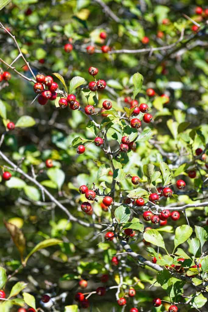 Hawthorn berries photographed on a sunny day