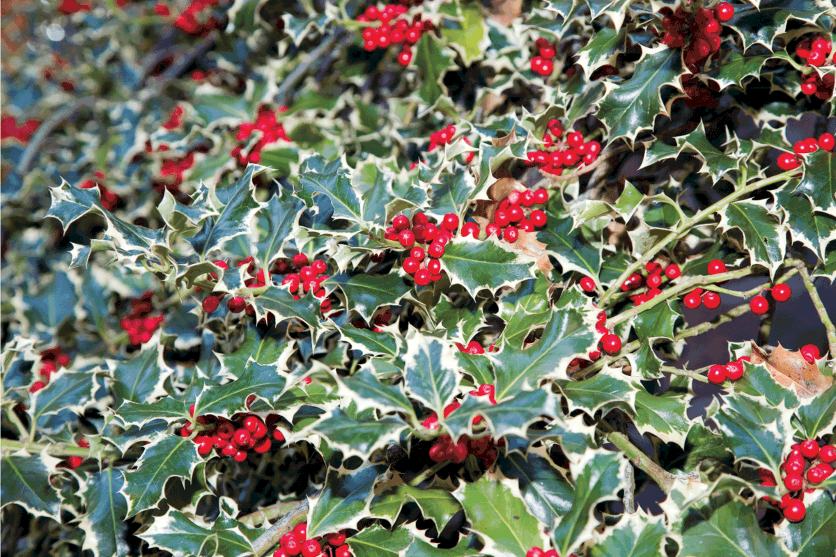 7 Of The Best Fertilizers For Holly Bushes [And How To Use It]