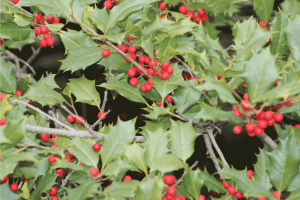 Read more about the article 7 Of The Best Fertilizers For Holly Bushes [And How To Use It]
