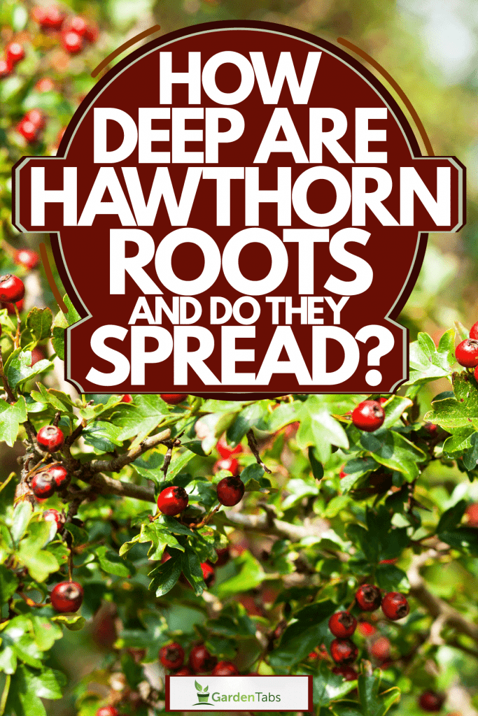Hawthorn berries photographed on a hawthorn tree, How Deep Are Hawthorn Roots And Do They Spread?