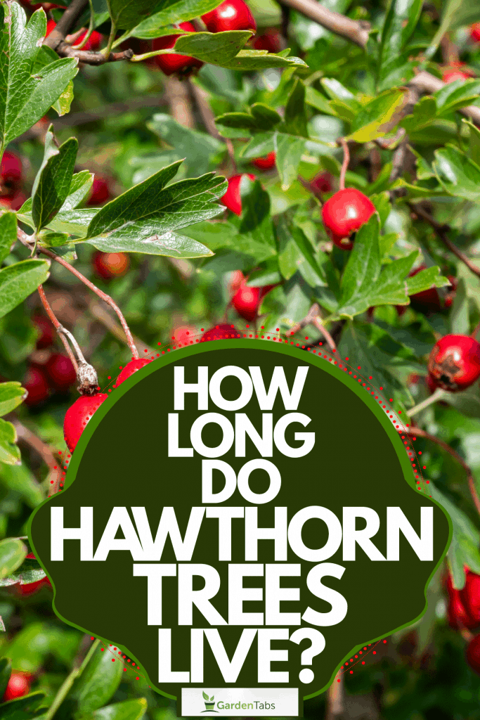 Lots of hawthorn berries on the branches of the Hawthorn tree, How Long Do Hawthorn Trees Live?