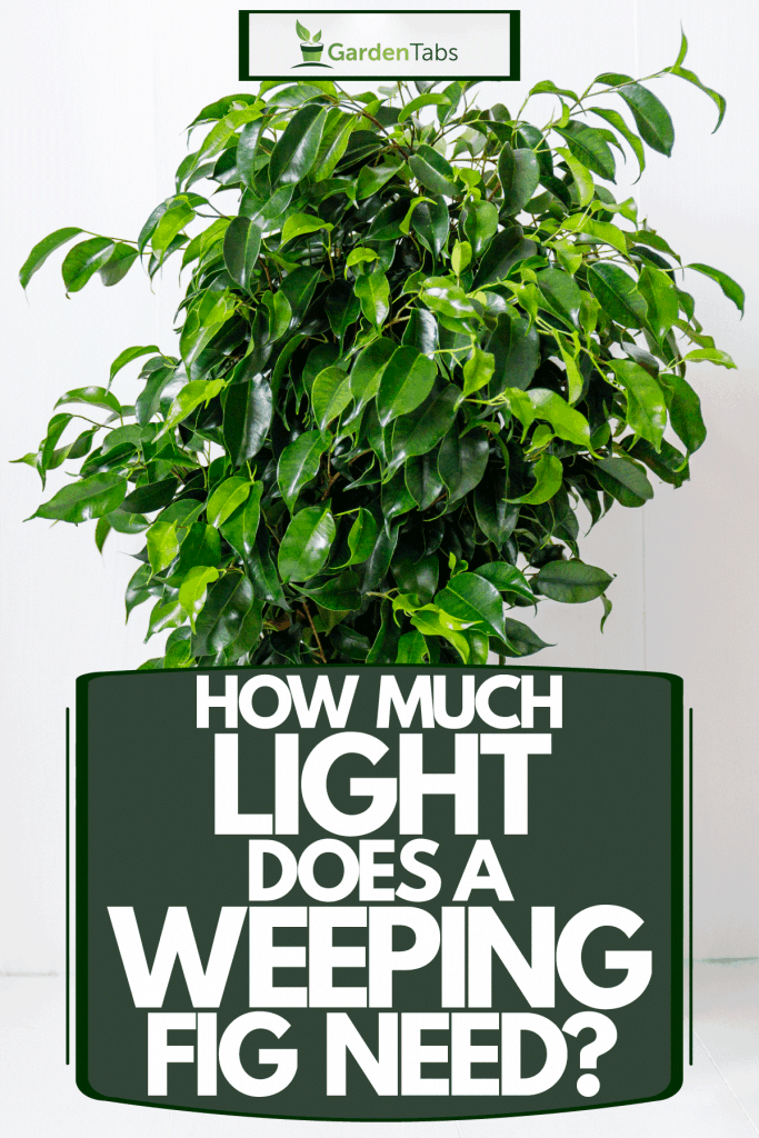A gorgeous weeping fig planted on a brown pot, How Much Light Does A Weeping Fig Need?