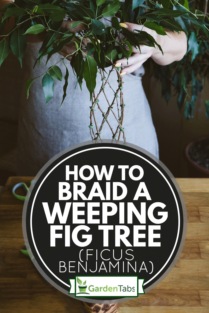 Methods and patterns of weaving ficus Benjamina at home. Woman weaves Stems of houseplant, How To Braid A Weeping Fig Tree (Ficus Benjamina)