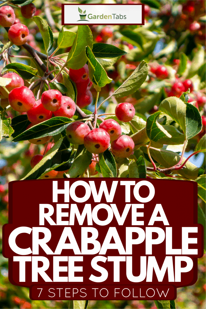 Bright red fruit bearing of the crab apple tree, How To Remove A Crabapple Tree Stump - 7 Steps To Follow