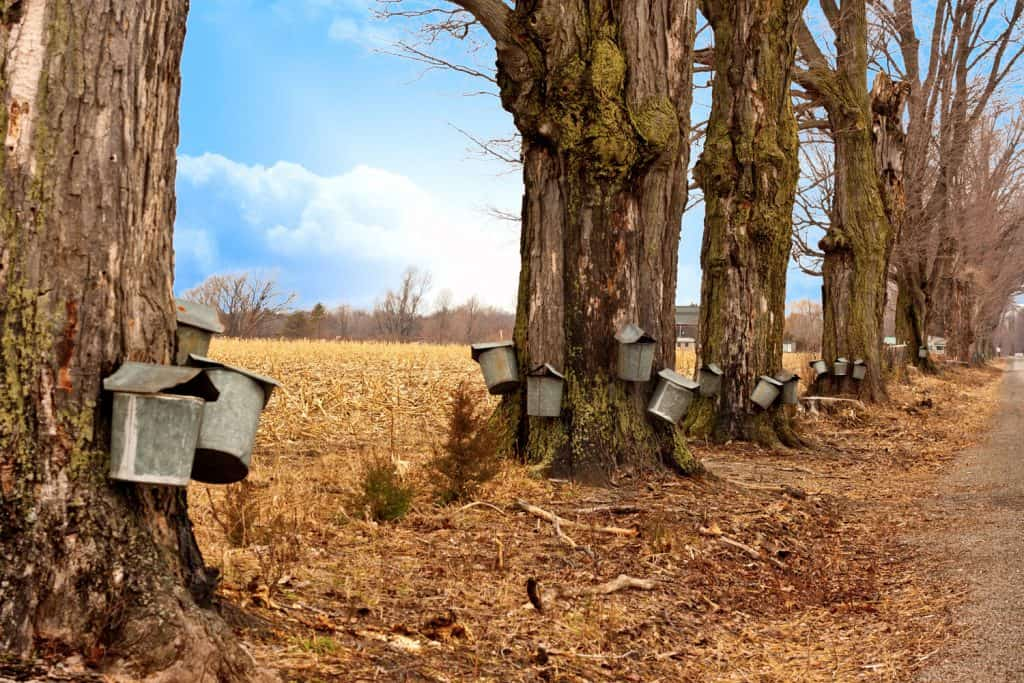 Huge maple trees with maple buckets for collecting maple sap