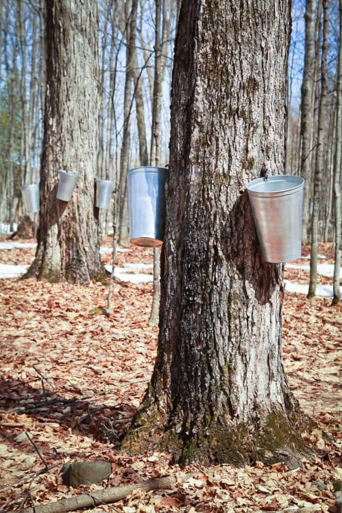 Huge maple trees with water buckets attached on the side for catching maple sap