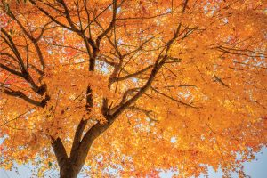 Read more about the article How Long Do Maple Trees Live? [By Type Of Maple]