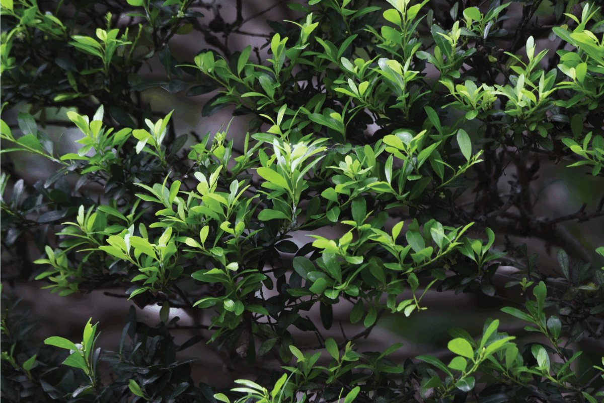 Japanese holly is an Aquifoliaceae evergreen tree and is used for hedges and garden trees. How Big Can A Holly Tree Get