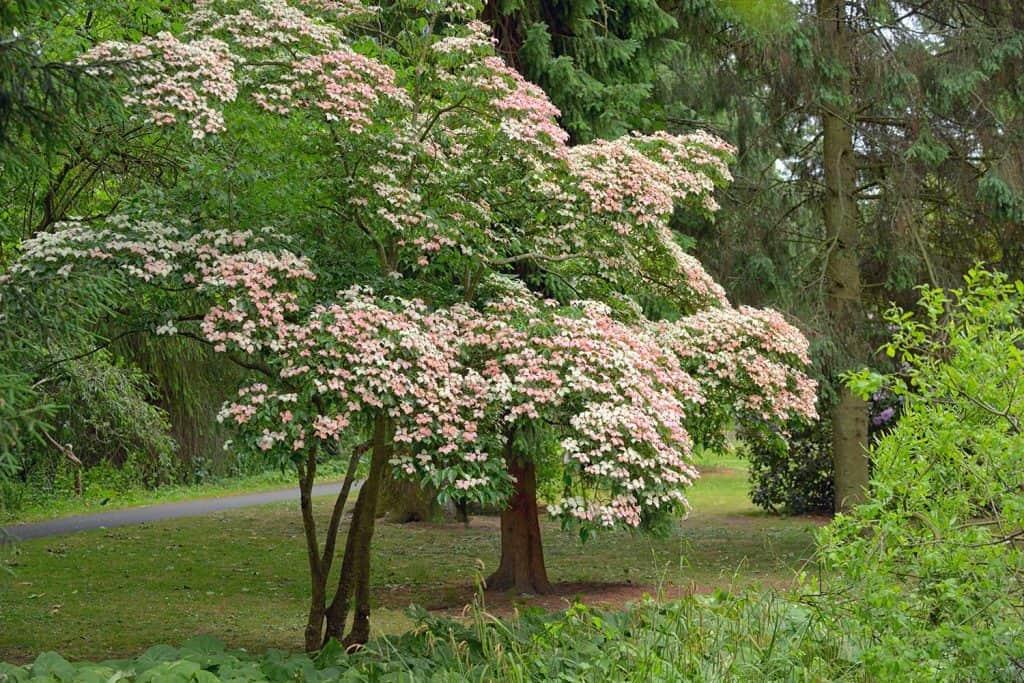 Korean dogwood tree in botanical garden