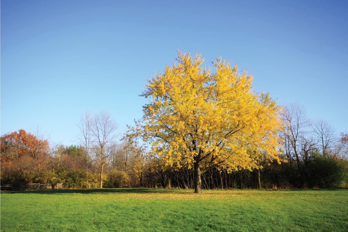 Lone silver maple tree under blue sky in autumn