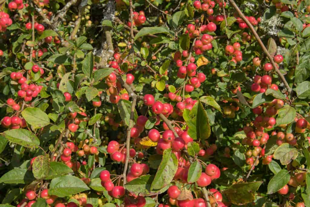 Lots of red crabapple berries photographed on a crabapple tree