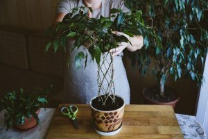 Read more about the article How To Braid A Weeping Fig Tree (Ficus Benjamina)