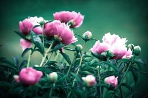 Read more about the article 10 Types Of Purple Peonies To Know