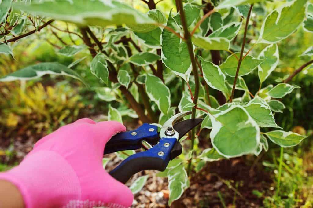 Pruning cornus alba shrub in summer