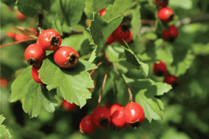 Read more about the article How To Get Rid Of Hawthorn Trees [A Thorough Guide]