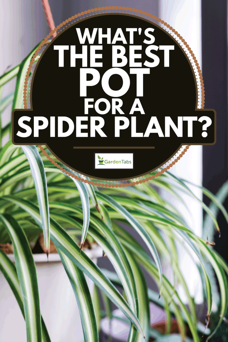 Spider plant in white pot at balcony. What's The Best Pot For A Spider Plant