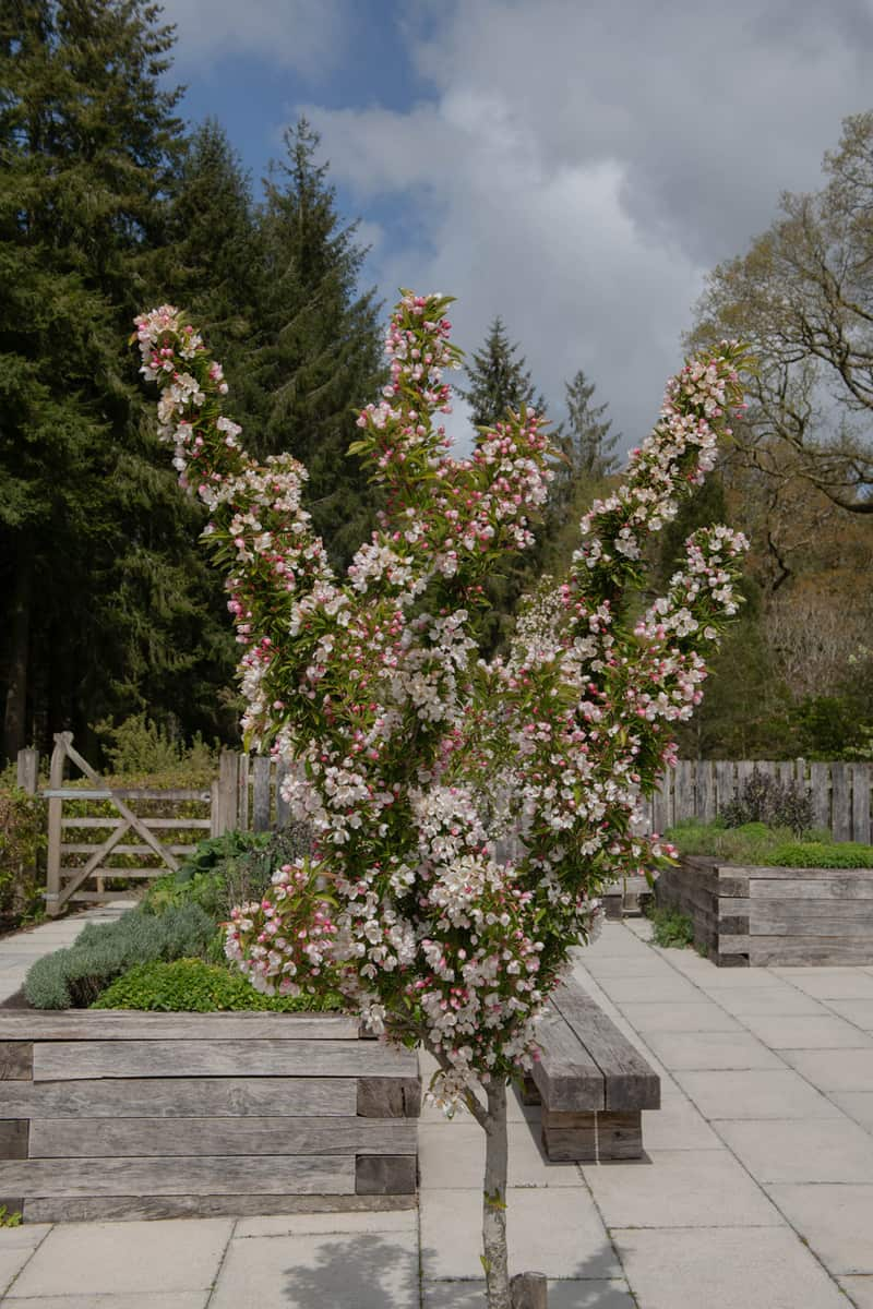 Spring Flowering Bright White Blossom on a Deciduous Crab Apple Tree (Malus 'Adirondack') Growing on the Terrace of a Kitchen Herb Garden
