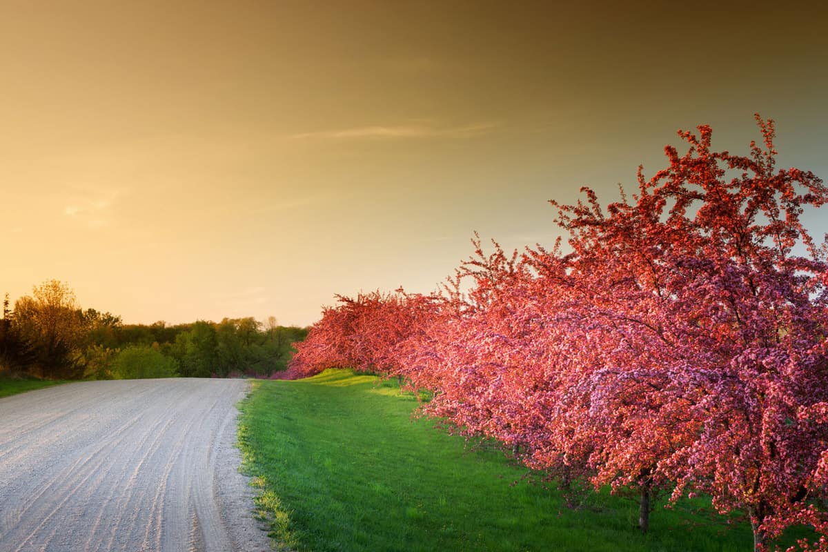 Spring colors ignite with radiant flowering crabapple trees along a quaint rural gravel road in Minnesota, How Big Does A Crabapple Tree Get?