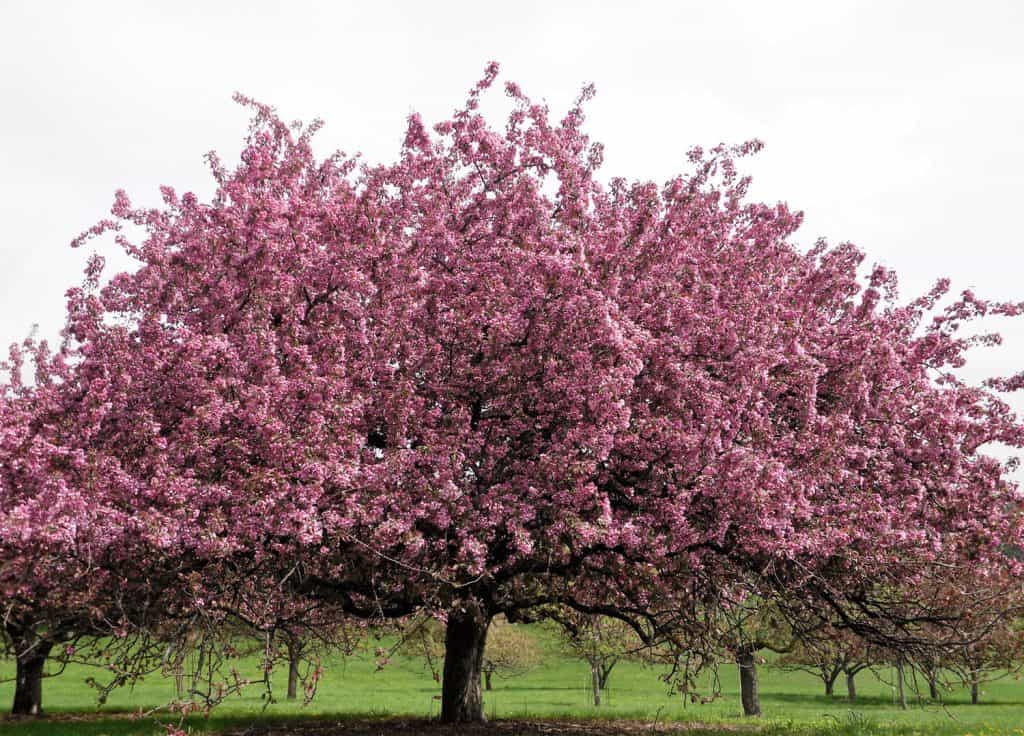 Springtime blooming pink crabapple tree.