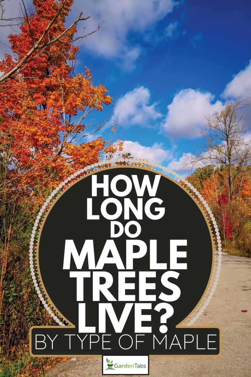 Sugar Maple Trees in Autumn at Boyd Conservation Park. How Long Do Maple Trees Live [By Type Of Maple]