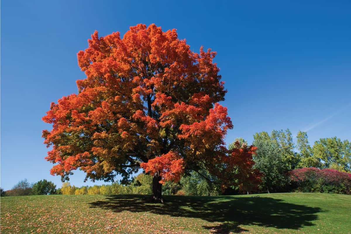 Sugar maple (Acer sacarum) in spectacular October light.