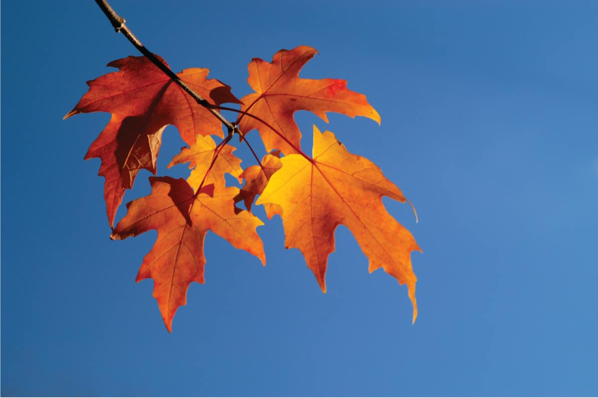 The glorious colors of autumn in a single branch against blue sky