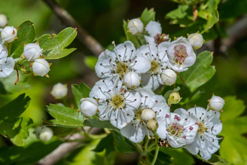 The gorgeous white colored flowers of the Hawthorn blossom three photographed in the garden