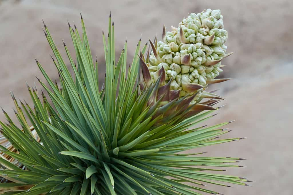 The strange looking Joshua Tree (Yucca brevifolia) is a member of the Agave family that typically grows in the Mojave Desert.