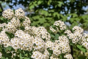 The stunning and beautiful blossoming flowers of the Hawthorn tree, Does Hawthorn Grow In Shade?