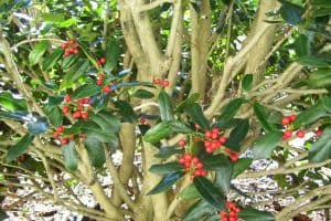 Read more about the article How Long Does A Holly Tree Live?