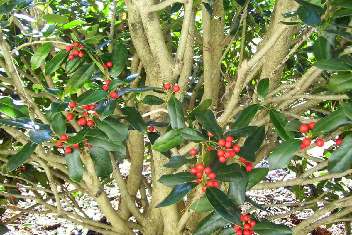 This is a close-up of a Burford holly tree with red berries on a sunny day at the end of winter on a sunny day in Tennessee, How Long Does A Holly Tree Live?