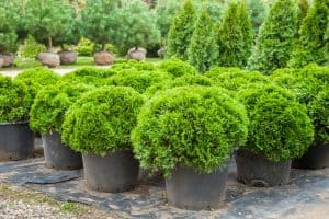 Read more about the article 7 Best Arborvitae Fertilizers