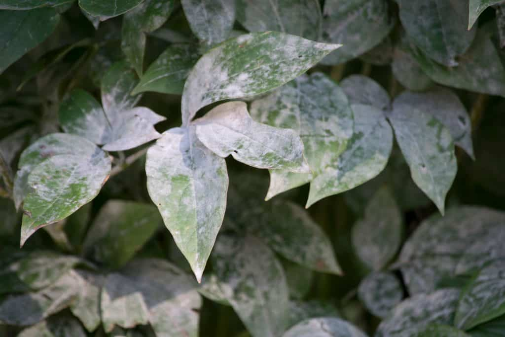 Visible powdery mildew disease photographed up close
