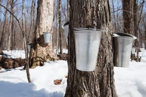 Read more about the article Does Maple Tree Sap Go Bad?